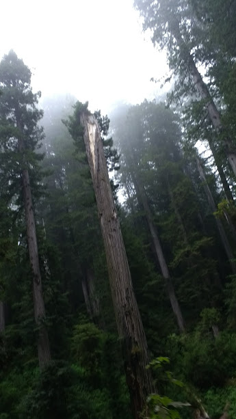 Redwoods #3