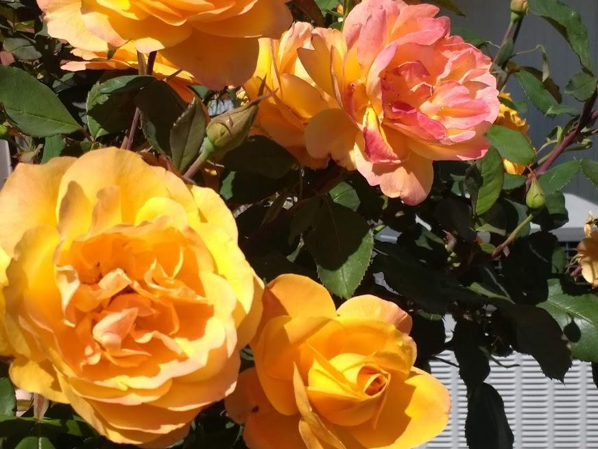 Roses #7